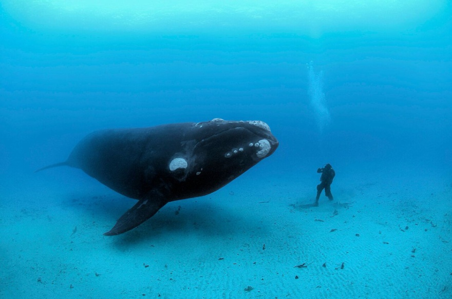 a-southern-right-whale-dwarfs-a-diver-in-this-photo-by-brian-sk-data
